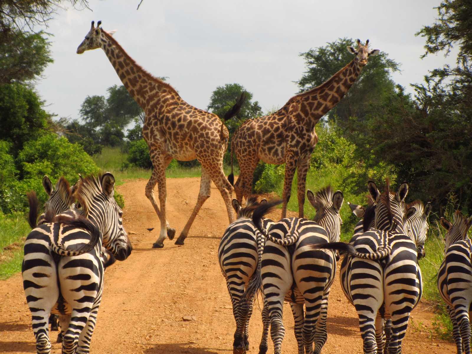 b3nharris-zebras-giraffs-765885-1600x